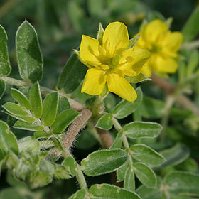 tribulus terrestris is a commonly used male enhancement ingredient