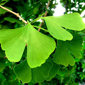 ginko biloba is in almost all male enhancement products