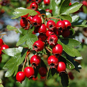 hawthorn berry increases the blood flow to your penis during an erection