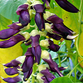 mucuna pruriens are breans that increase the blood flow in your body