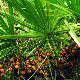 saw palmetto has been used for a long time for male virility