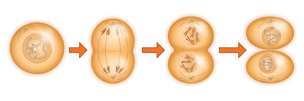 Phallosan Forte promotes cell division